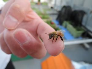 手のせハチ