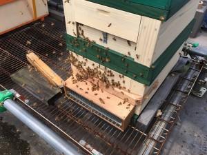 花粉採取5回目②